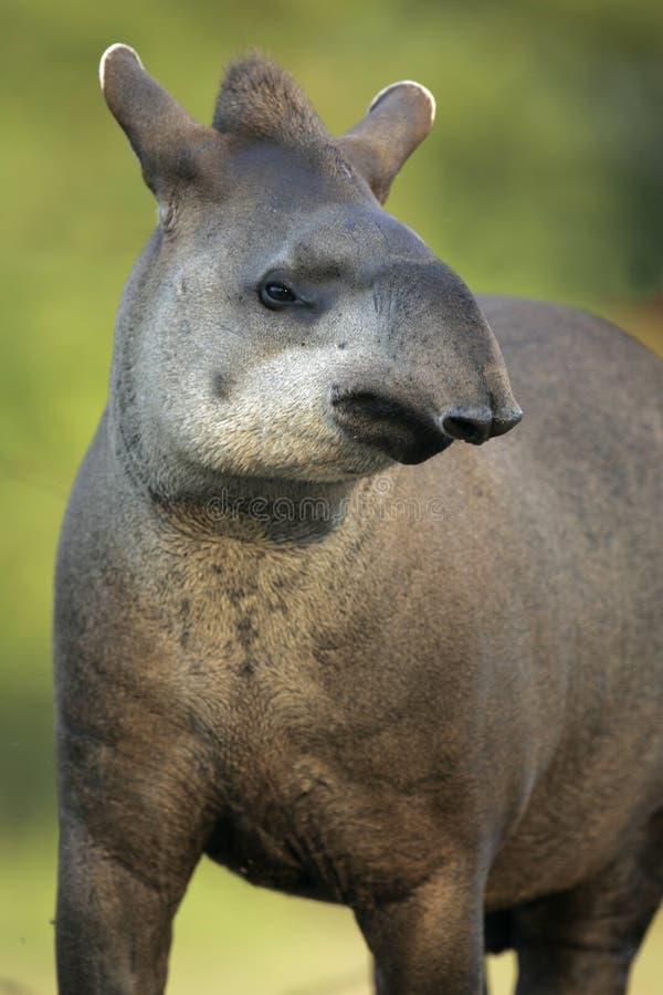 Brazilian tapir, Tapirus terrestris,. On land in Brazil royalty free stock image