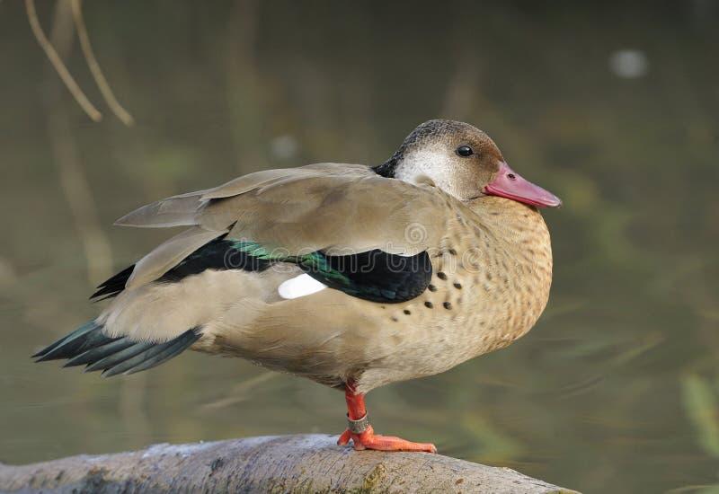 Brazilian Teal Duck. Amazonetta brasiliensis stock photography