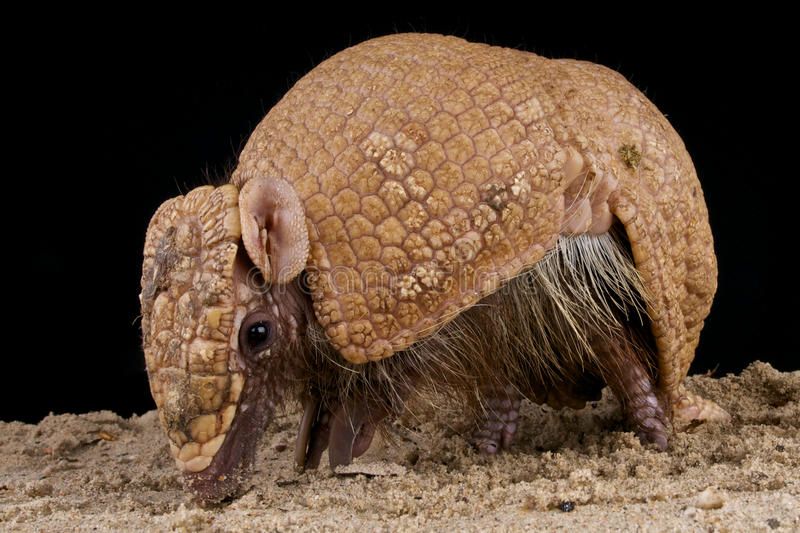 Brazilian three-banded armadillo stock photo