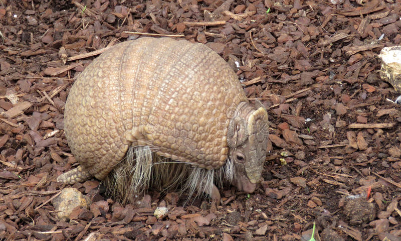 Brazilian three-banded armadillo (Tolypeutes tricinctus) stock photography