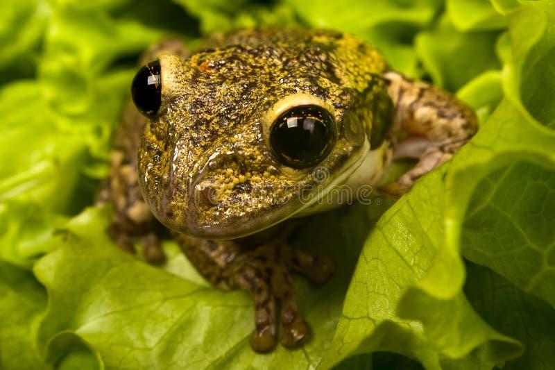 Brazilian tiee-frog stock photography
