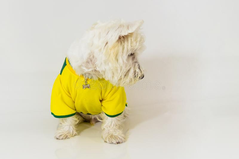 Brazilian west highland white terrier looking at something stock image