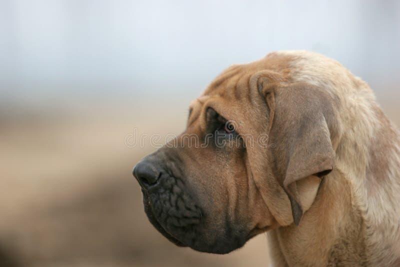 Brazilianmastiff photos stock