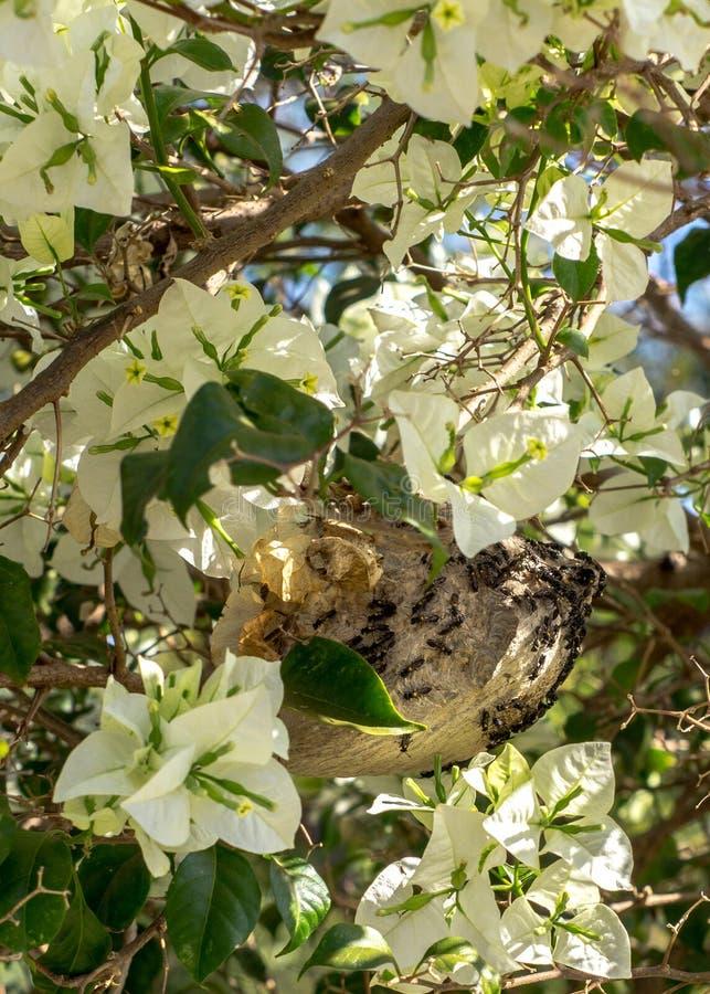 Brazillian大黄蜂掩藏入春天花树 免版税图库摄影