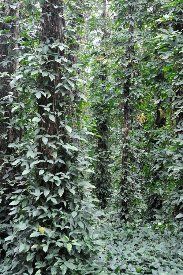 Free Brazilwood And Liane Stock Images - 13427814