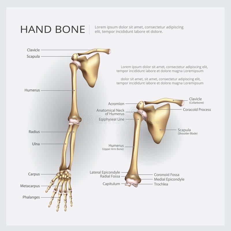 Brazo De La Anatomía Y Hueso De Mano Humanos Ilustración del Vector ...