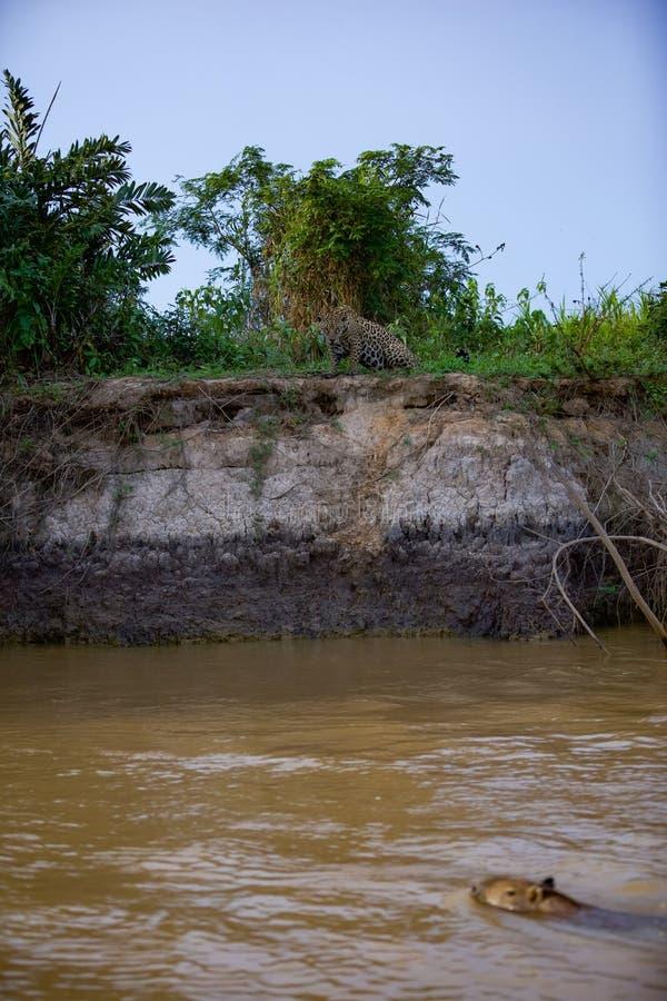 Brazylijczyk Pantanal - Jaguar zdjęcie stock