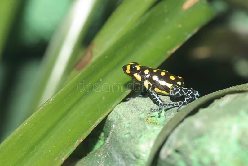 Brazylijska jad żaba fotografia stock