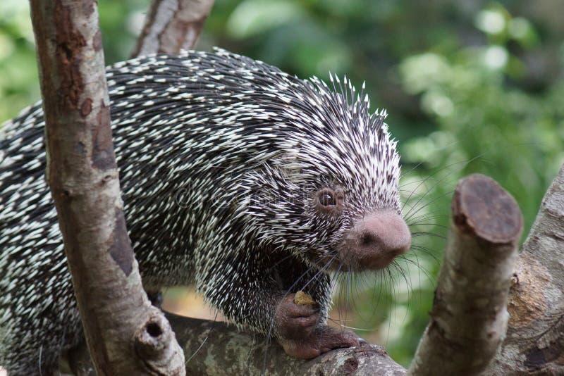 Brazylijska Ogoniasta jeżatka - Coendou prehensilis obrazy stock