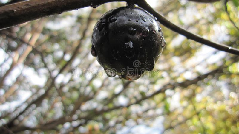 Brazylijski gronowy drzewo, jaboticaba, jabotica, jabuticabeira, guaperu, guapuru, hivapuru, sabara lub yvapuru, obrazy royalty free