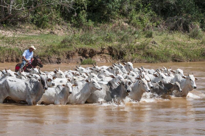 Brazylijski kowboj z krowami obraz stock