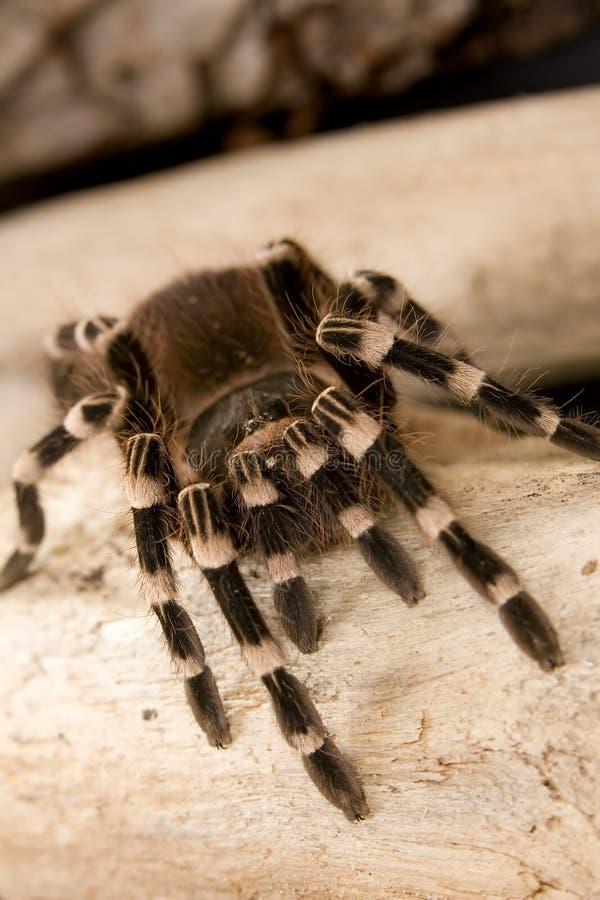 brazylijski tarantula kolana white zdjęcia royalty free