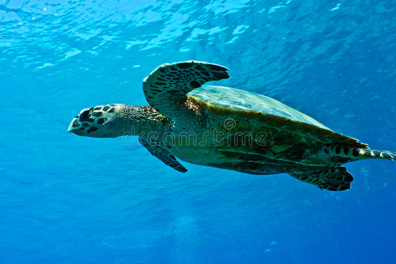 Brazylijskie bahia coroa żółwia morskiego vermelha wyspy fotografia stock