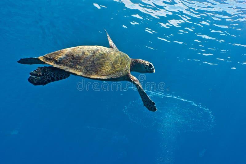 Brazylijskie bahia coroa żółwia morskiego vermelha wyspy zdjęcia royalty free