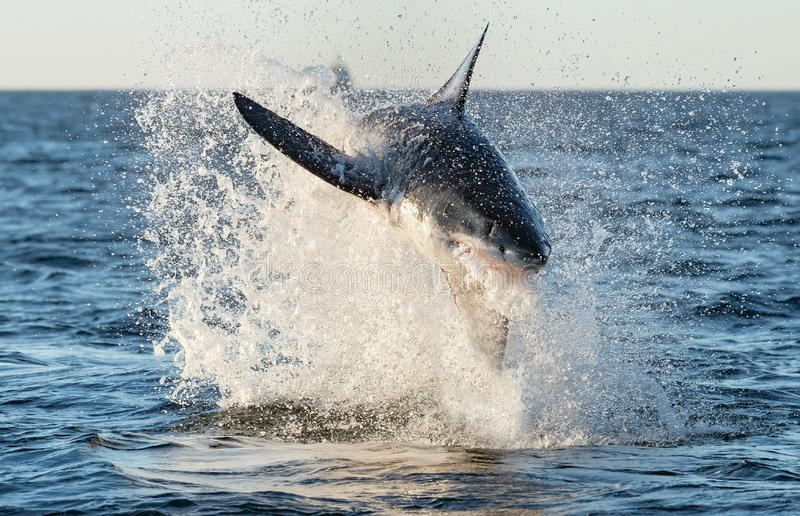 Breaching Great White Shark. Front view royalty free stock image