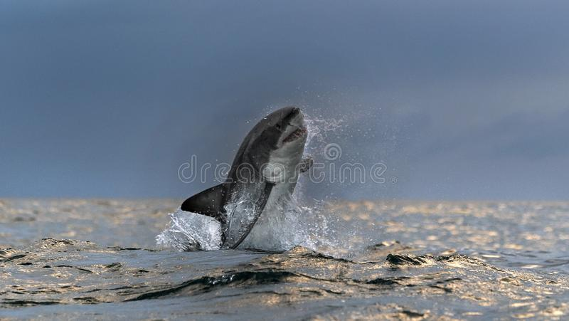 Breaching Great White Shark. Front View.  Scientific name: Carcharodon carcharias. South Africa.  stock photos
