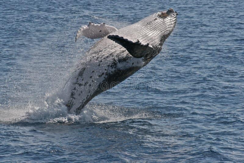 Breaching humpback stock images