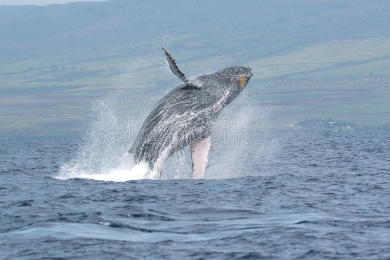 Breaching Humpback Whale. A humpback whale breaching off the coast of Maui stock photo
