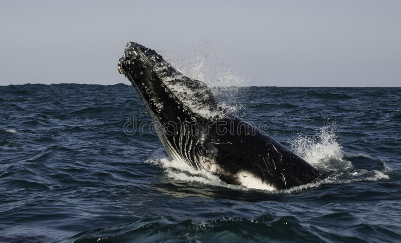 Breaching Humpback. Humpback whale calf breaching, during the annual migration north to the warmer waters of Mozambique. South Africa royalty free stock photography