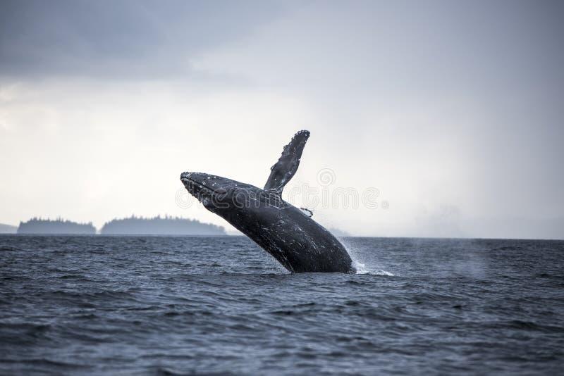Breaching humpback whale, Craig, Alaska. Breaching humpback whale in waters near Craig, Alaska on overcast day stock images