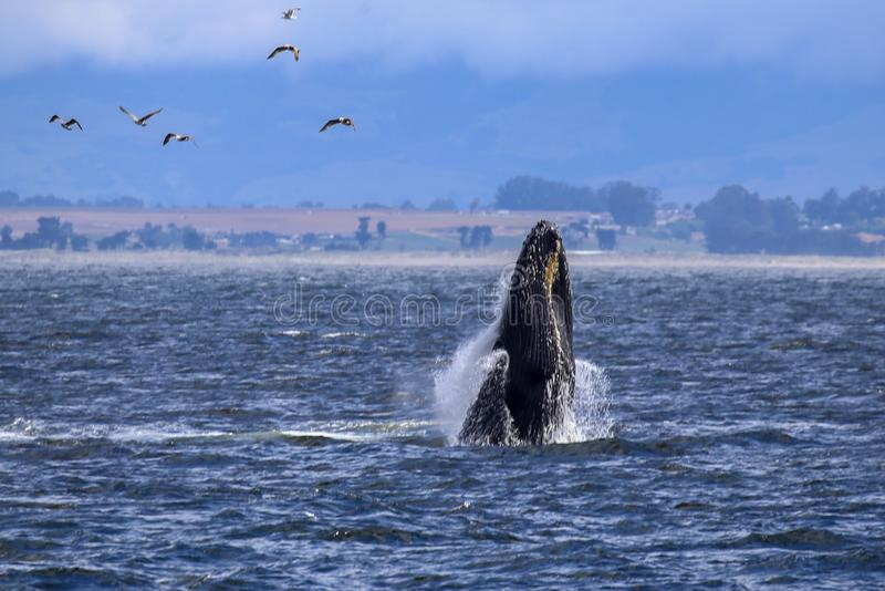 Breaching humpback whale in Monterey Bay, California. Humpback whale jumping out of the Pacific Ocean near Monterey Peninsula on the central coast of California stock photography