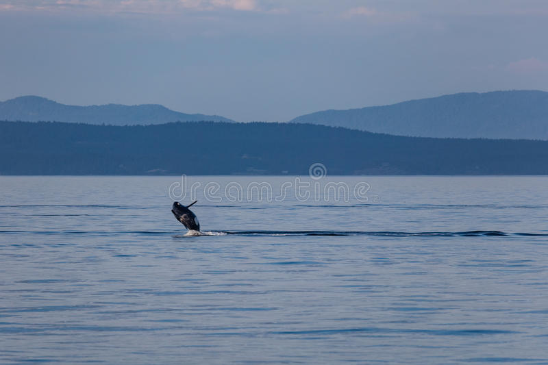 Breaching Orca royalty free stock images