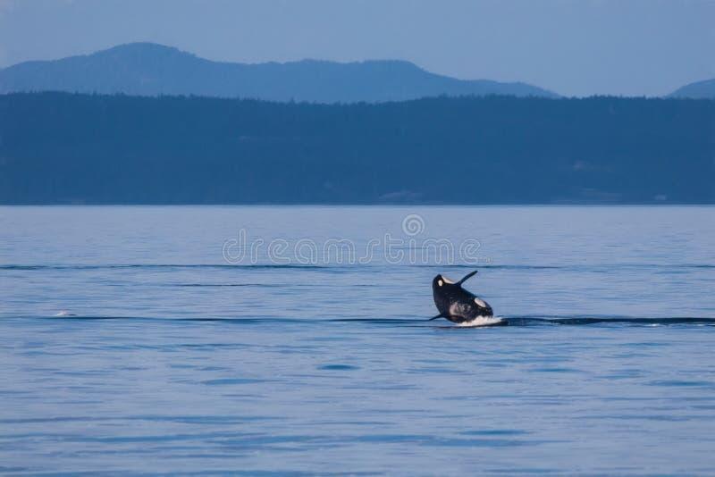 Breaching Orca stock photos