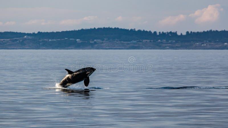 Breaching Orca royalty free stock photos