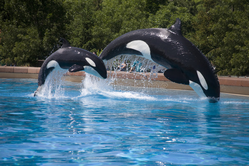 Breaching orca whales stock images