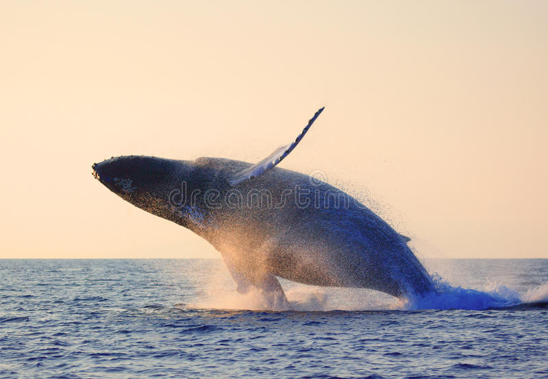 Breaching whale. Humpback whale breaching in maui hawaii