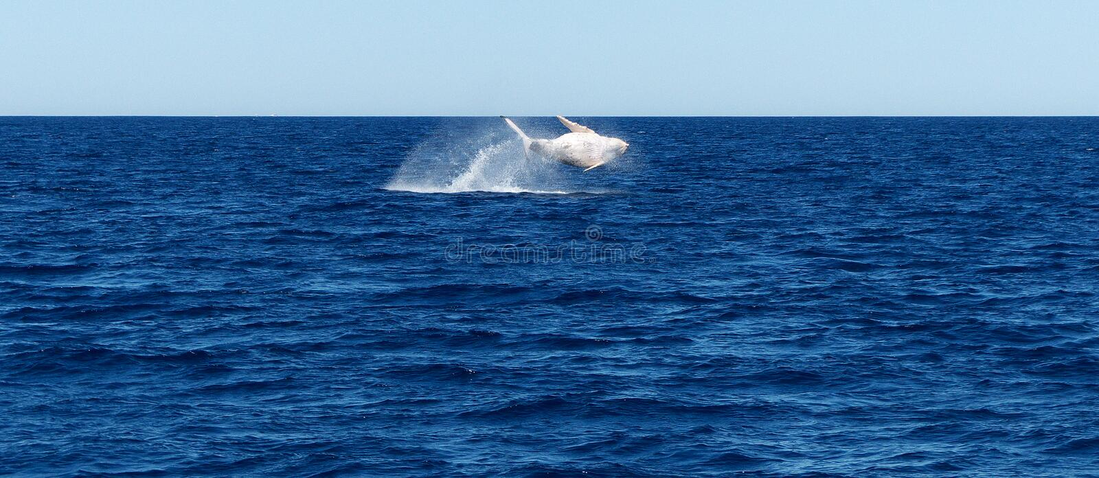 Breaching Whale stock image