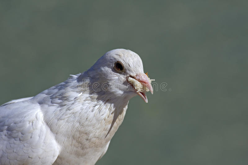 Download Bread-eating pigeon stock image. Image of bread, leffanta - 26729261