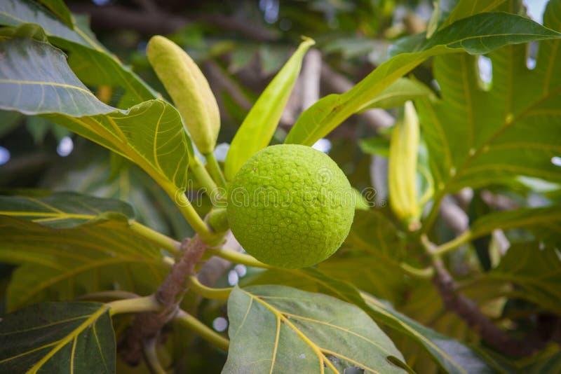 Download Breadfruit fotografia stock. Immagine di fiore, tropicale - 55352410