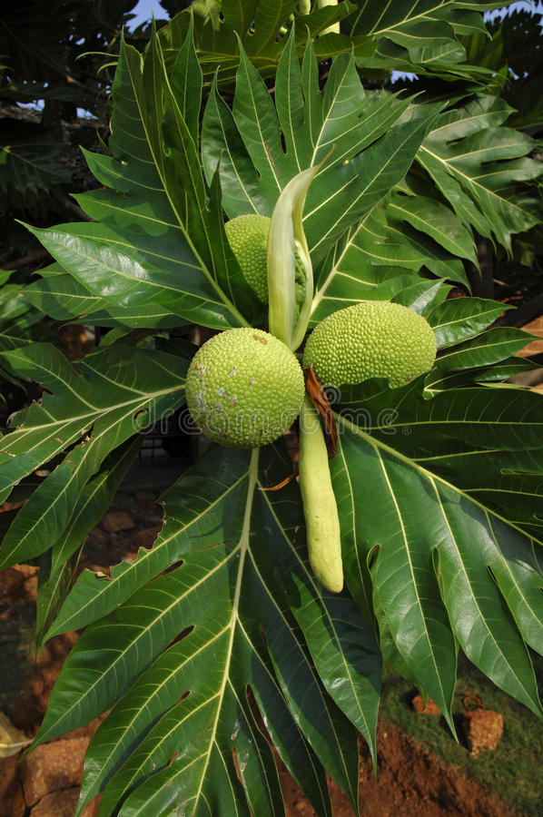 Breadfruit (Artocarpus altilis) stock photos