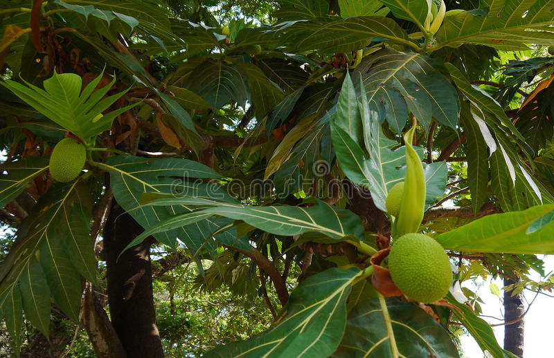 Breadfruit royalty free stock images