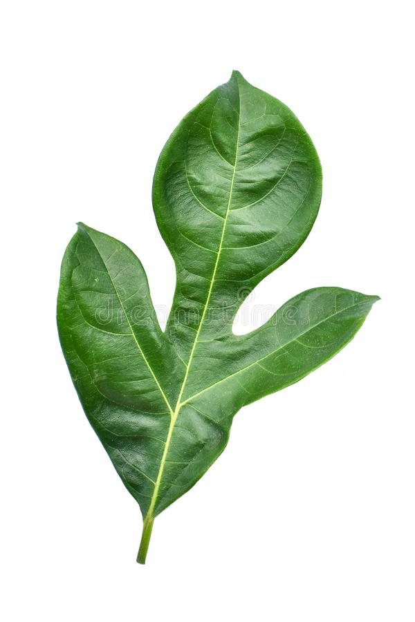 Breadfruit plant leaves with branches on white isolated background for green foliage backdrop royalty free stock photos