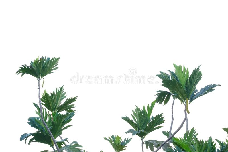 Breadfruit plant leaves with branches on white isolated background for green foliage backdrop. Plant leaves growing garden white isolated background green stock photos