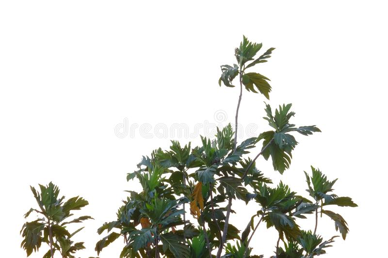 Breadfruit plant leaves with branches on white isolated background for green foliage backdrop. Breadfruit plant leaves branches white isolated background green royalty free stock photography