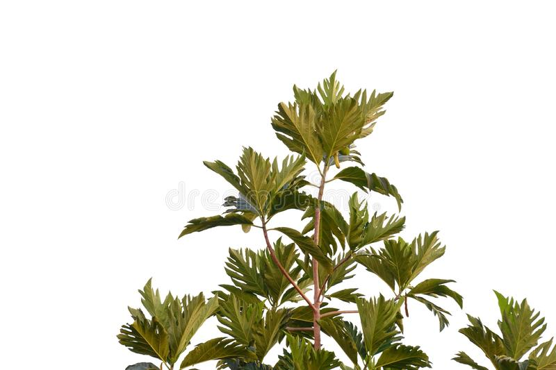 Breadfruit plant leaves growing in a garden on white isolated background for green foliage backdrop. Breadfruit plant leaves growing garden white isolated royalty free stock photo