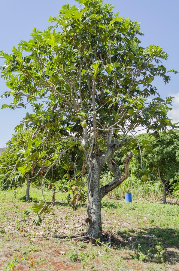Breadfruit Tree With Fruits In Sunlight royalty free stock photography