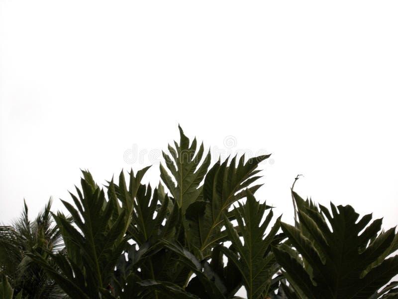 Breadfruit  on white background stock image