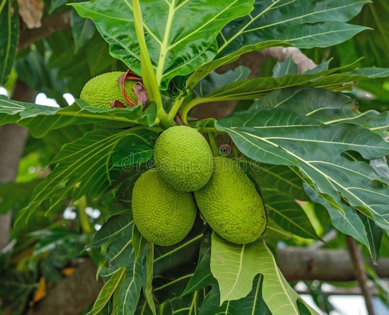 Breadfruit;young fruit jackfruit royalty free stock photos