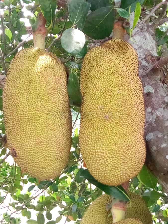 Breadfruits royalty free stock photo