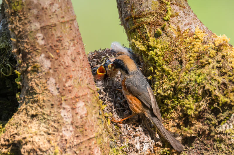 Breakfast before leaving home nest. Wonderful bird , Black throated bushtit ,mom feeding her babies with wide open mouth preparing to fly to the wild world royalty free stock photos