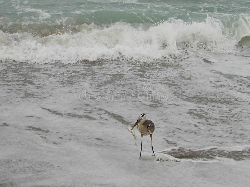 Breakfast in the surf and on the beach after a successful early morning fishing excursion for a little blue heron stock image
