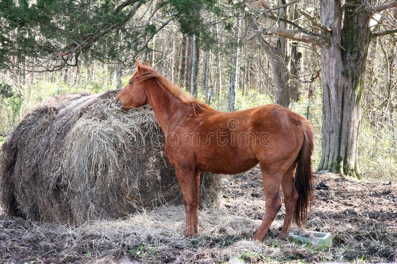 Breakfast Time  Red  Brown Horse Stock Images