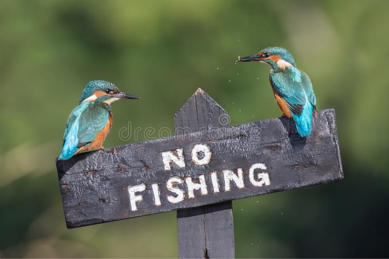 Breaking the law. These two Kingfishers take no notice of the local rules along this stretch of the river as the continue to fish despite the sign saying royalty free stock photo