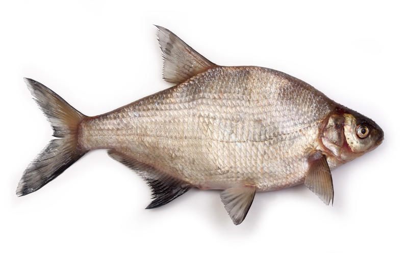 Bream. On a white background stock image