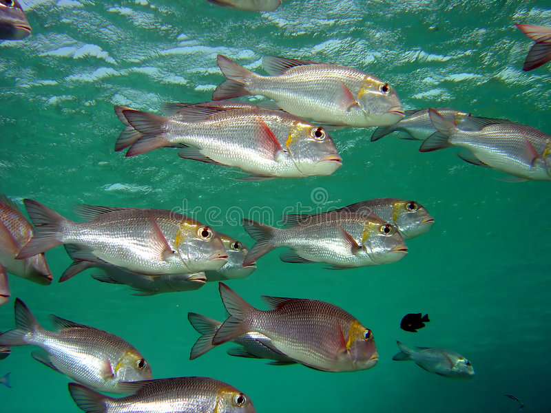 Bream royalty free stock images