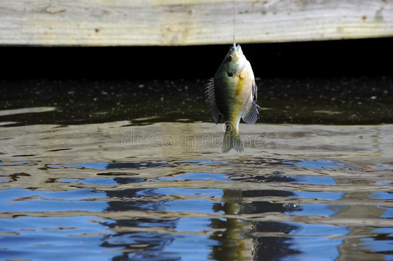 Bream Caught on a Fly Bait WFT royalty free stock photo